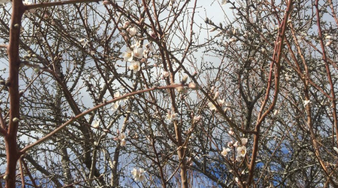 A matrix of almond branches show off delicate early blooms near Lost Hills, Calif. Almonds have grown from 765,000 acres to 1.33 million acres in the last decade.  Greta Mart/KCBX