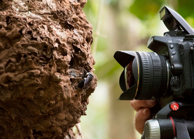 Natural history photographer Clay Bolt photographs Wallace's Giant Bee in its. nest. The bee nests in active termite mounds in the North Moluccas, Indonesia. (Copyright Simon Robson)