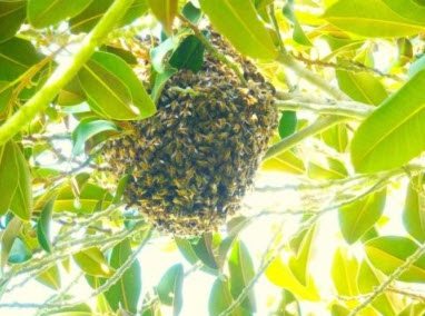 Non-native honey bees have established robust feral populations in San Diego, such as the pictured swarm. Honey bees currently make up 75 percent of the observed pollinators in San Diego, considered a global biodiversity hotspot.    Credit: James Hung