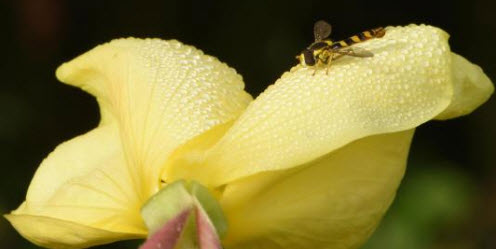 A brown and yellow hoverfly rests on a dewdrop-covered evening primrose in the U.K. PHOTOGRAPH BY MICHAELGRANTWILDLIFE/ ALAMY