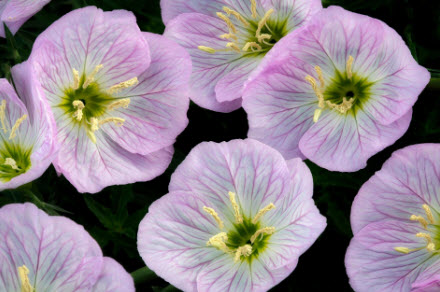 The bowl-shaped flowers of evening primrose may be key to their acoustic capabilities. PHOTOGRAPH BY DENNIS FRATES/ ALAMY