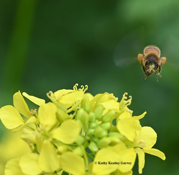 A pollen-laden honey bee heads for more pollen and nectar on mustard. (Photo by Kathy Keatley Garvey)