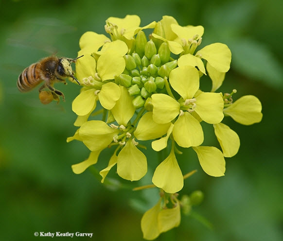 Pollen-packing honey bee is a sight to see amid the mustard blossoms. (Photo by Kathy Keatley Garvey)