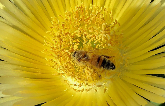 A honey bee collects pollen. Credit: James Nieh, UC San Diego
