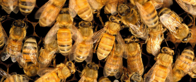 Honey bee workers inside their nest. Credit: Heather Broccard-Bell