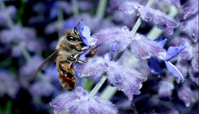 A honey bee forages on flower. Credit: Heather Broccard-Bell