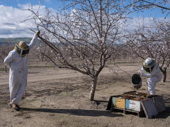 Throughout the almond bloom, beekeepers monitor their bee colonies' health, looking out for mites, fungi, and disease that can wipe out a hive. In cold weather, beekeepers supplement the hives with syrup and pollen to keep the bees alive till the weather warms. PHOTOGRAPH BY LUCAS FOGLIA, NATIONAL GEOGRAPHIC
