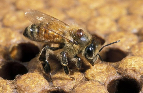 varroa mite on bee.jpg