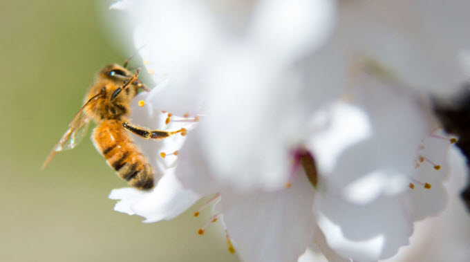 A honeybee pollinates a blossom in an almond orchard in McFarland, California. DAVID KOSLING/ USDA
