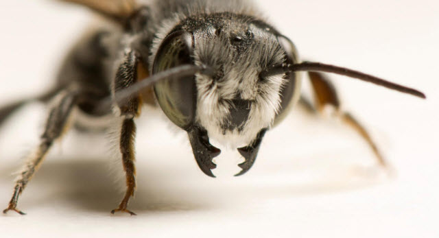 Portrait of a leaf cutter bee, the species believed to be using plastic for construction material in Argentina. Photograph By Joel Sartore, National Geographic Photo Ark