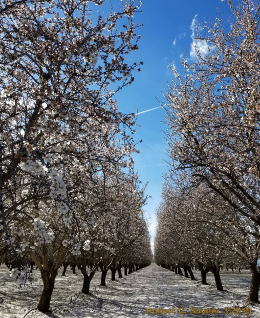Petal Fall in 2019 in almonds after heavy rain.