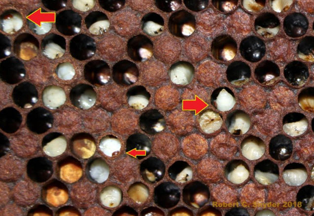 If you are seeing this or lots of Deformed Wing Virus (DWV) it will be really hard to nurse colonies back to health. This is what happens if you neglect to treat or manipulate colonies to impact mite levels. Red arrows point to varroa mite in or on open brood.