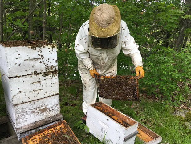 Beekeeper Elaine Peterson takes a frame out of one the hives in an effort to create a new hive at her property north of Gananoque.(Elliot Ferguson/The Whig-Standard)