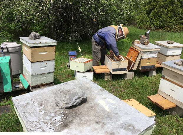 Beekeeper Bill Kirby checks one of his hives on his property near Yarker. (Elliot Ferguson/The Whig-Standard)