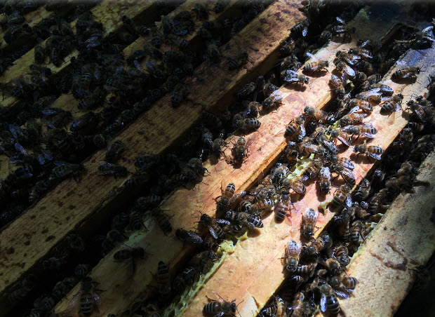 Honeybees on Curtis Brunet's property north of Lansdowne. (Elliot Ferguson/The Whig-Standard)