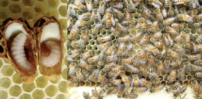 Figure 3: Royal jelly (left) is fed to queen-destined larvae and worker jelly (right) is fed to worker-destined larvae.
