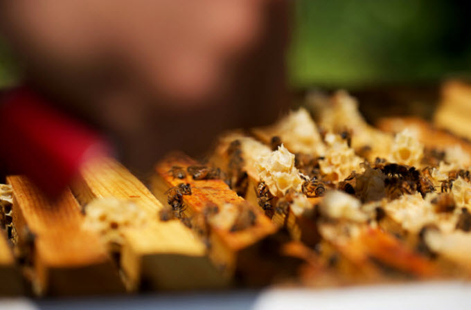 Honeybees crawl through a modern-day hive. This past winter saw the most dramatic losses of managed honeybee colonies in 13 years, according to researchers.  Olivia Falcigno/NPR