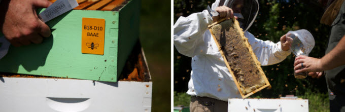 Dennis vanEngelsdorp pulls out a frame from a hive. Managed honeybee hives are usually made of stackable, separable components so that beekeepers can closely monitor the colony's health.  Olivia Falcigno/NPR