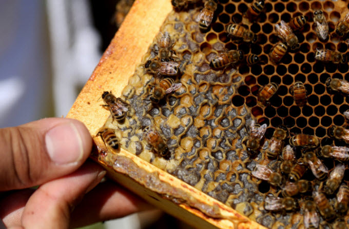 Bees crawl over larvae and capped honey cells on a hive frame. Larvae are especially vulnerable to pests like  Varroa  mites.  Olivia Falcigno/NPR