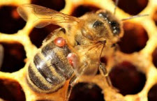 Varroa mites on honey be.jpg