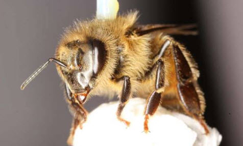 A honey bee (Apis mellifera) is harnessed for study on a flight mill in biology professor James Nieh's laboratory, UC San Diego. – Credit: Simone Tosi