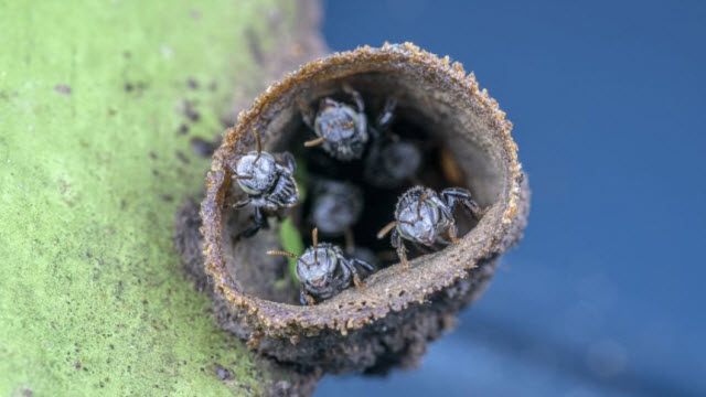 Australian native stingless bees. Credit: Dr Peter Yeeles