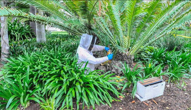 One early morning, while The Huntington was closed to visitors, beekeeper Kevin Heydman extracted a hive of bees from a cycad near the Huntington Art Gallery. Photo by Andrew Mitchell.