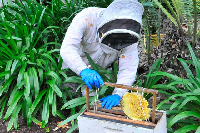 Heydman secures pieces of honeycomb in a frame and then    slides    them into a bee box. Photo by Andrew Mitchell.