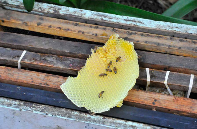 Bees and a piece of honeycomb on a bee box. Photo by Andrew Mitchell.