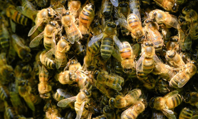 Schwarmfängers to the rescue? There are now about 10,000 bee colonies in Berlin, which is causing habitat and food shortages. Photograph: Evan North/Getty Images