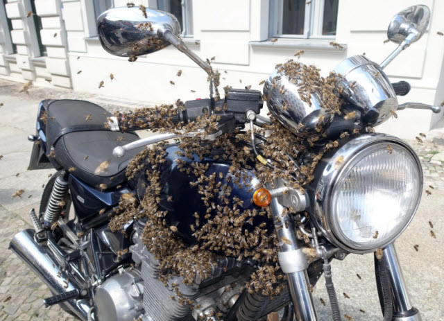 Berlin Kreuzberg, A swarm of bees cluster on a motorcycle. Photograph: Agencja Fotograficzna Caro/Alamy Stock Photo