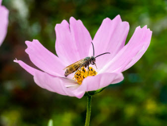 A Japanese honeybee feeds from a garden cosmos flower