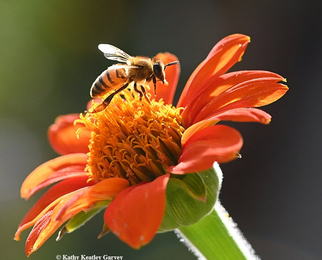 Illuminated by the late afternoon sun, the worker bee prepares to fly to another Tithonia blossom. (Photo by Kathy Keatley Garvey)