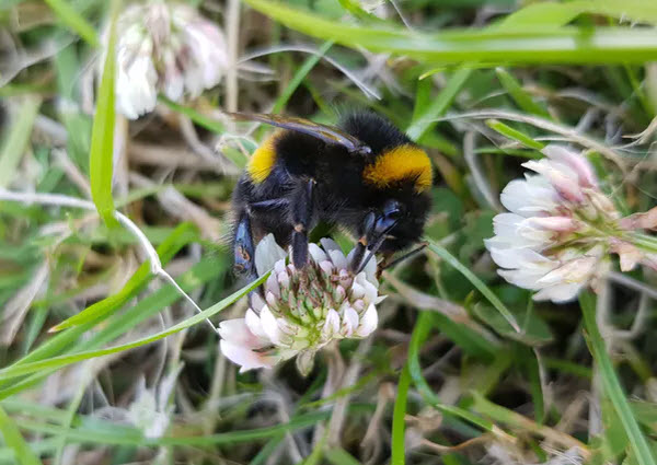 A bumblebee, pulling it's weight. Emily L Brown, Author provided