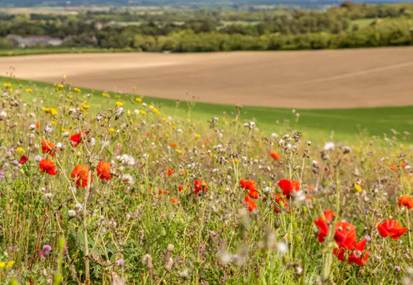 Wildflowers border farmland in Sussex, UK.  Shutterstock.