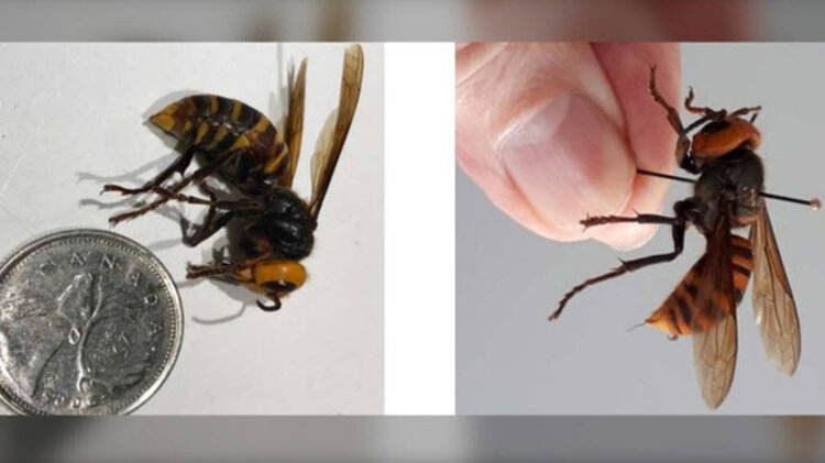 While Asian giant hornet stings are rare, the large volume of venom they carry can cause localized swelling, redness, itchiness and significant pain. (BC government)