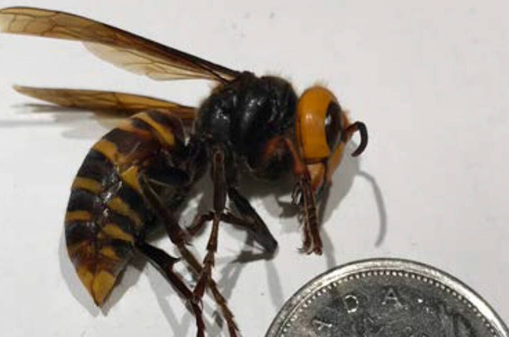 The B.C. Ministry of Agriculture says three insects found in Nanaimo in August have been confirmed to be Asian giant hornets. (Submitted photo)