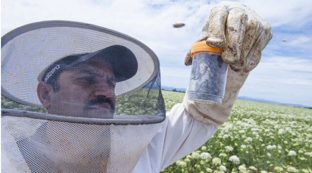 Ramesh Sagili, Oregon State University associate professor of apiculture and Extension specialist, examines honeybees in Madras, Oregon.CREDIT: LYNN KETCHUM, OREGON STATE UNIVERSITY