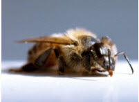 Honey Bee Health.jpg