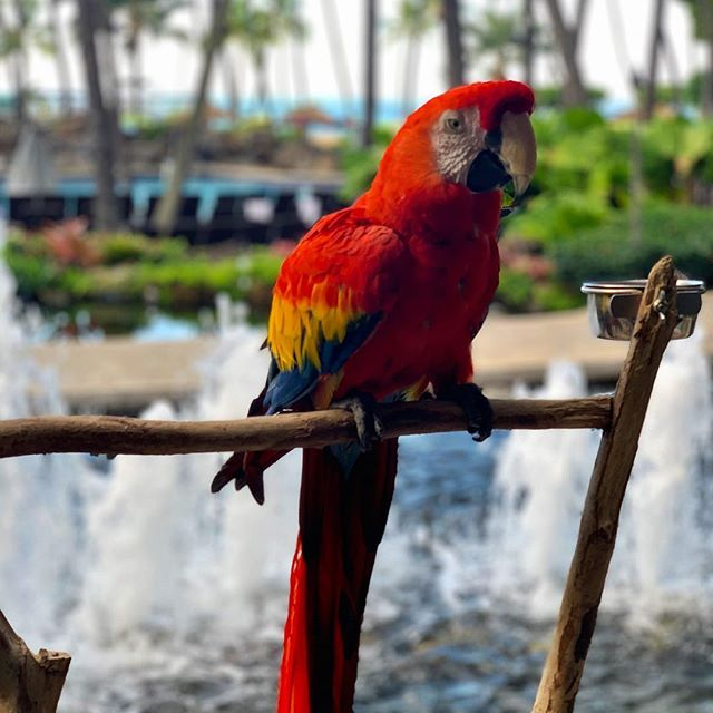 Tuesday will be cuter if it's Friday, but hey 👋🏽, we still live in Paradise 🌴🌺🍹 . . . #aloha #tuesday #paradise #parrot #life #waikiki #honolulu #oahu #hawaii #islandlife #endlesssummer #colorful #love #lifestyle #january #travel #blogger #bohostyle #stylist #fashion #instagood #instadaily #tropical #travelgram #island #happy #vibes #talahonolulu