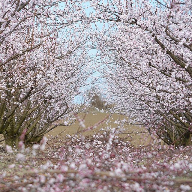 April Mood 🌸🌸🌸 . . . #aloha #monday #april #spring #feeling #blossoms #blooms #happy #vibes #travel #travelgram #nature #naturephotography #dreamy #orchard #travelbog #pink #love #natureisamazing #fashion #instagood #beautiful #inspire #bohemian #style #honolulu #talahonolulu