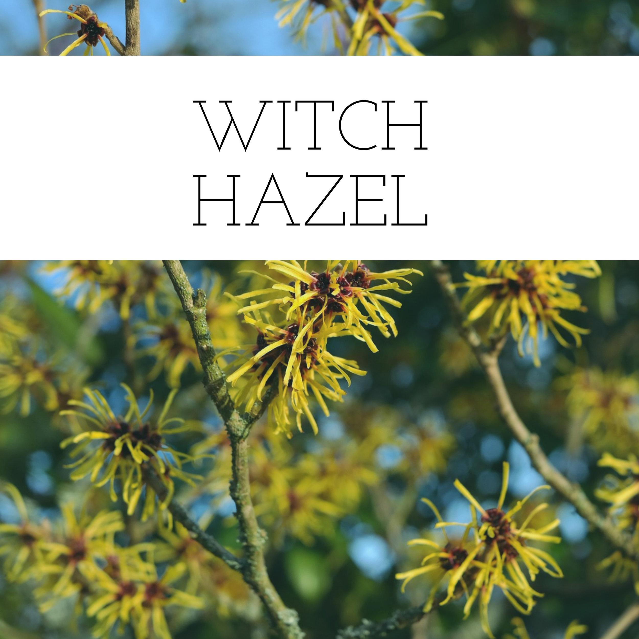 witchhazel (1).jpg