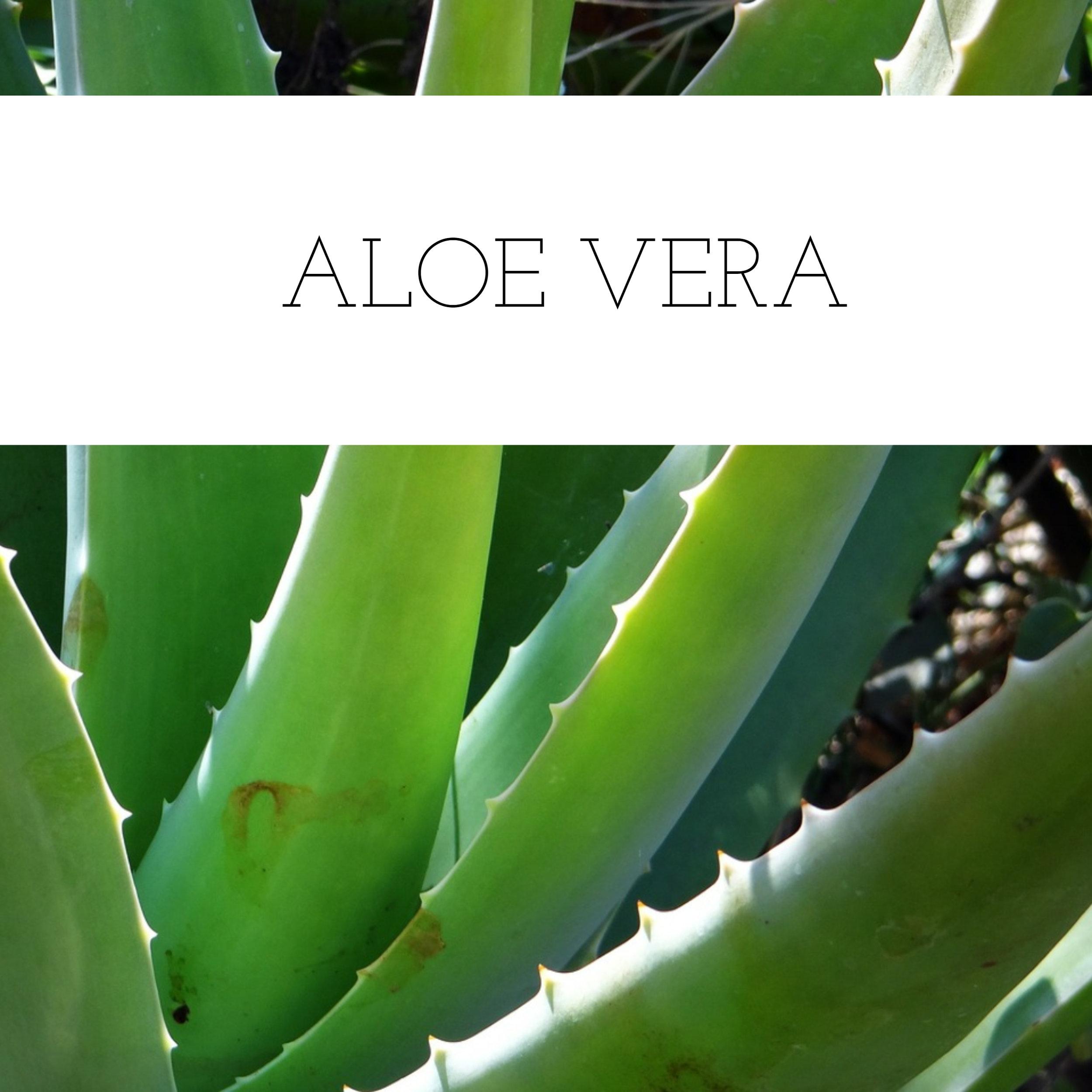 Aloe Vera.jpg