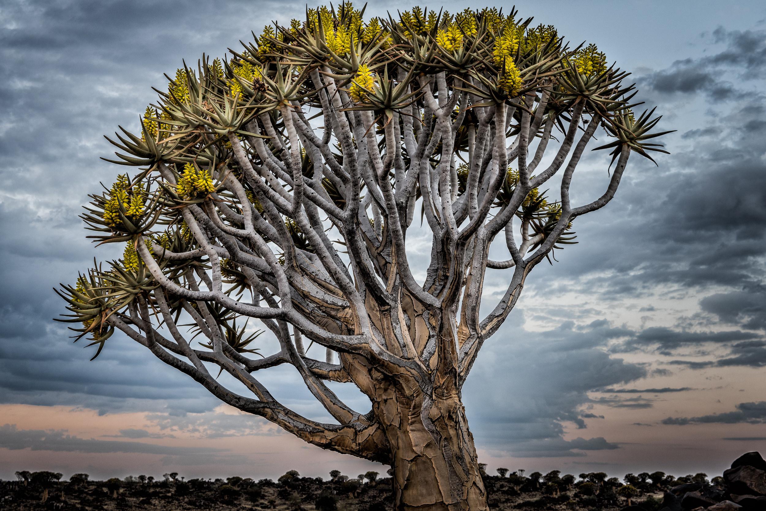 [2016 06 08] Namibia Quiver Trees (NIKON D810) 9119-Edit.jpg