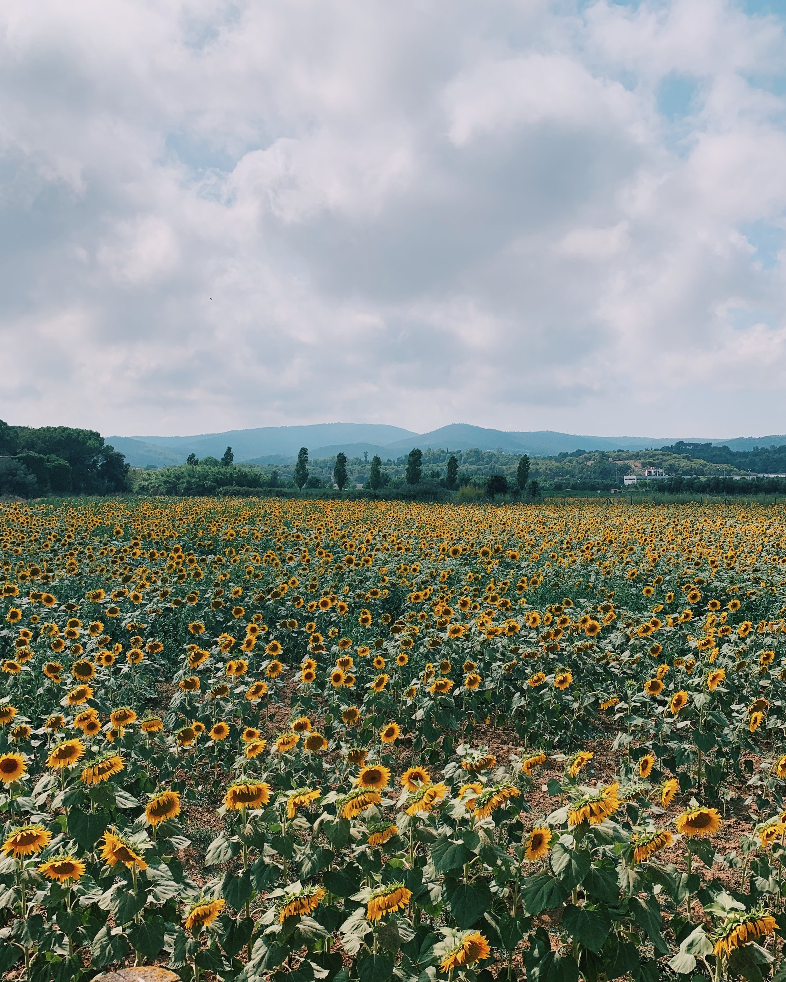 A sunflower field I passed on my to Llafranc from Tossa