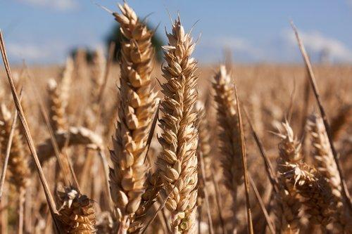cereal+farming.jpg