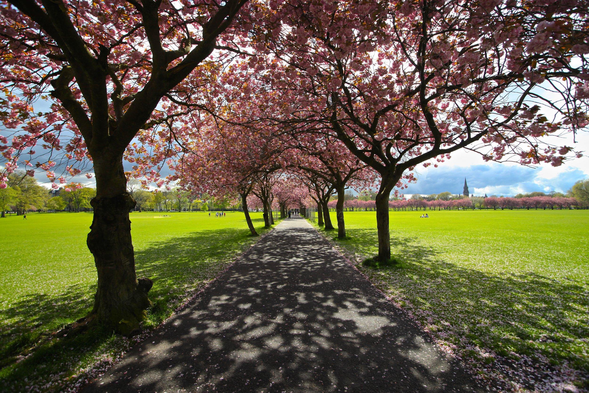 Cherry Blossoms in the Meadows   Jawbone Walk, Edinburgh EH3, UK