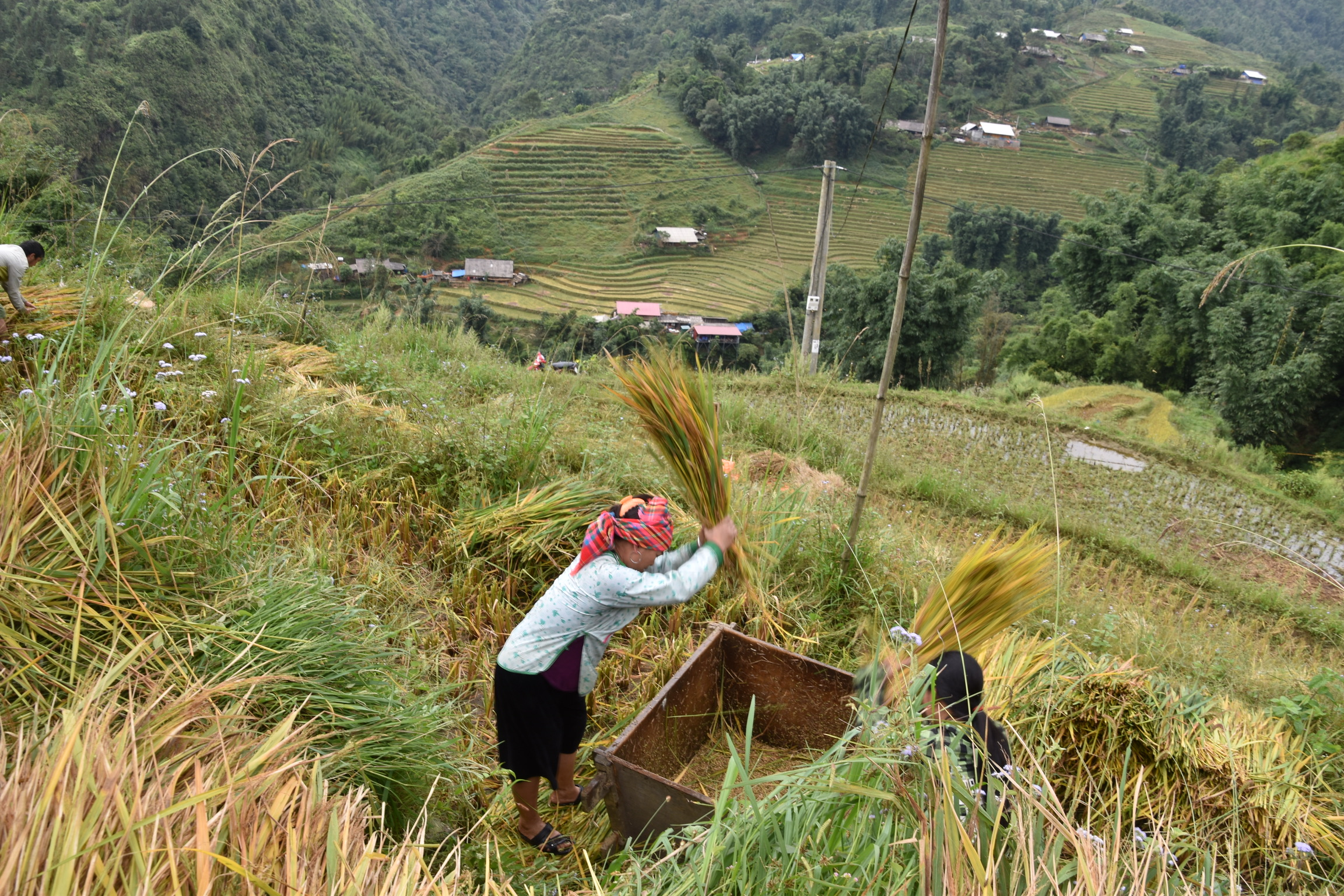 Rice farmer beating rice out of the bushel