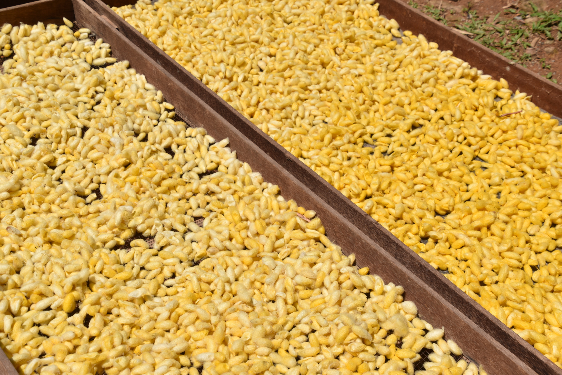the silk cocoons drying in the sun