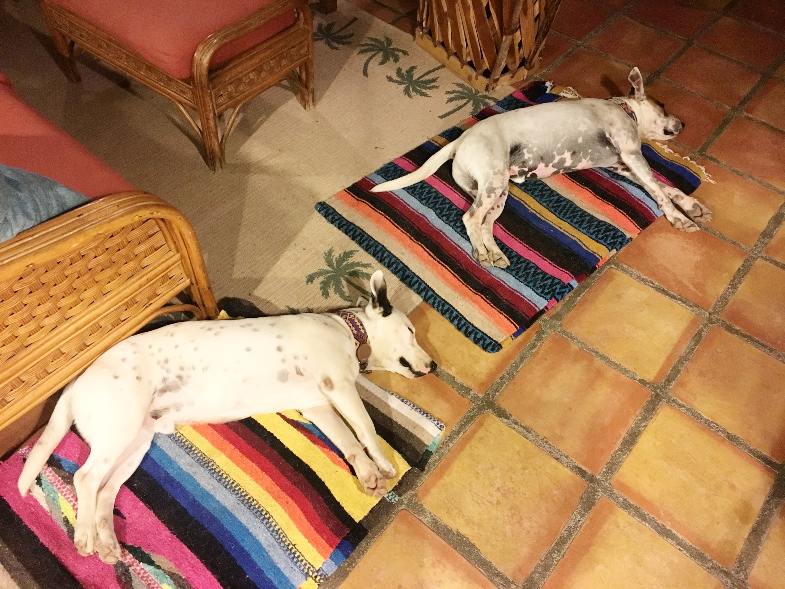 They snooze while I write...Duke is our Mexican dog (left) and Barney is our Texan dog (right).  They are not related by blood, but they are by love.  We go everywhere with them...